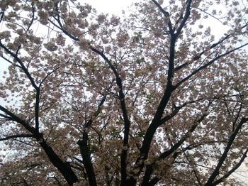 府中市某所の桜(2016年4月11日).jpg